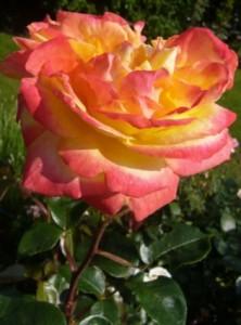 Pressearbeit: Blumen englischer Garten